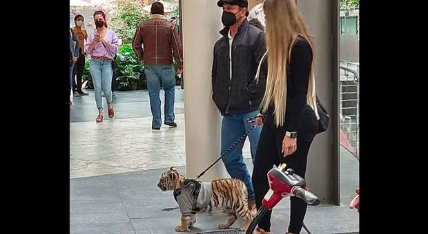 A spasso con la tigre al centro commerciale. La foto che indigna il web. (immagine pubbl da Mexico News Daily su Twitter)