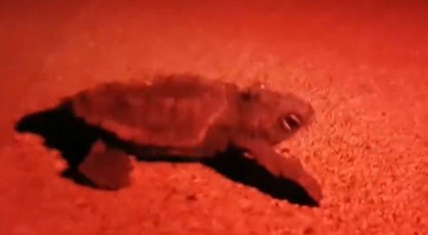 Lo spettacolo delle baby-tartarughe in Salento, 50 nascono nel resort di lusso