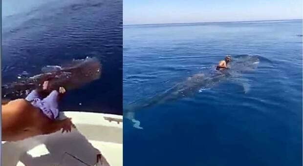 Cavalca lo squalo balena nel bel mezzo del Mar Rosso. Polemiche. (immagini e video diffusi da Gulf Today su Fb)