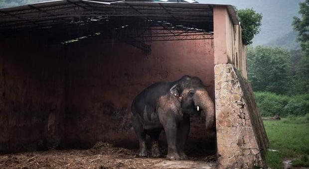 Kavaan, l'elefante più solo del mondo, sarà finalmente trasferito in un santuario dove avrà compagnia (immagini da Four Paws Int su Fb)
