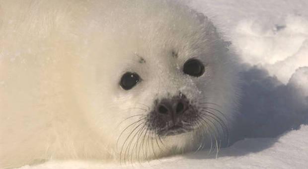 Un cucciolo di foca della Groenlandia (immagine pubblicata da Ansa)