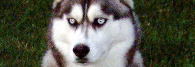 L'husky scatena un incendio in casa: «È riuscito ad accendere il microonde»