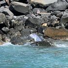Ostia, delfino morto trovato su una scogliera. Oceanomare: «Non toccatelo, rischio epidemia»