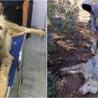 Ruth, il cane randagio ucciso da un contadino a bastonate